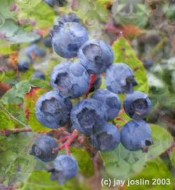 blueberries_web.jpg